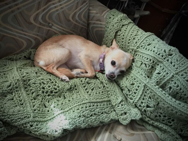 Summer the Chihuahua lays on one of Abby's afghans yesterday. I tell her she's a good girl, but she still misses Abby.