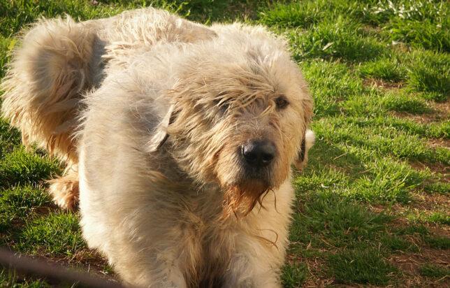 Our windblown Irish wolfhound Hawken keeps an eye on me last night as I plant my garden.