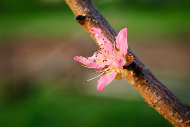 I have more than one variety of peach trees in my orchard, and they make slightly different blossoms.