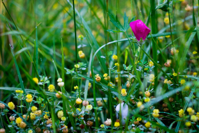 A wine cup wildflower sits tangled in other wildflowers in the west pasture.