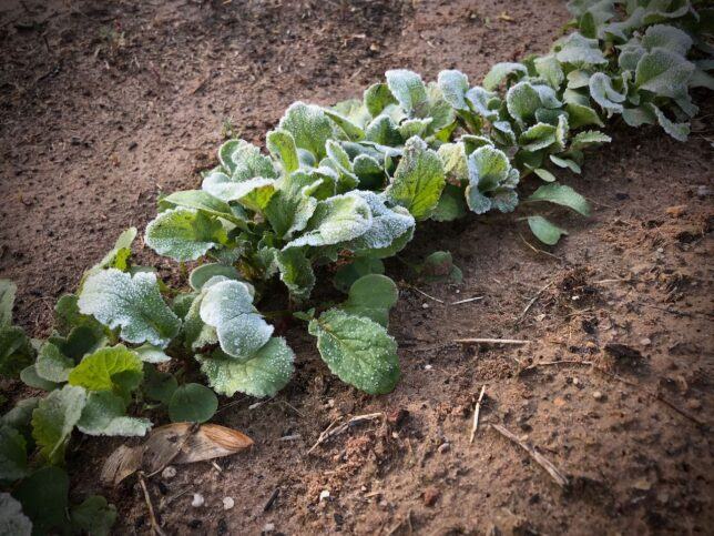 A late frost hit the garden, but I was able to cover most of it with borrowed tarps. I was not able to cover my radishes, but apparently radishes don't care, because they are fine.