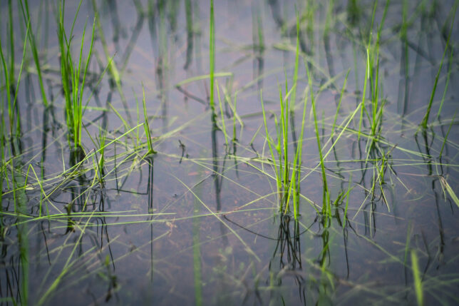 With the pond about as full as it's ever been, this grass peeks above the waterline. Normally, I would mow it.