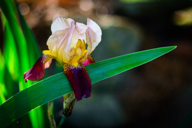 Irises only bloom for a short time in the spring.