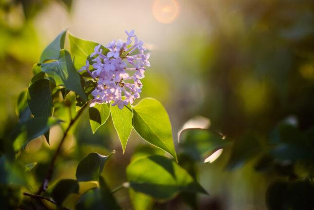 Lilacs take on evening light.